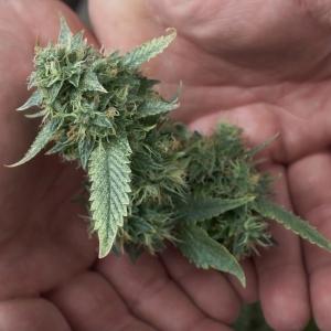 holding a pot bud
